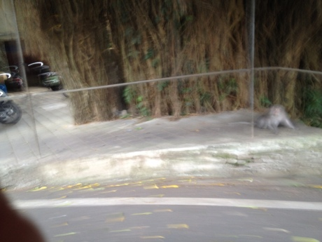 Kind of blurry, but that's a wild monkey on the streets of Ubud, Bali.