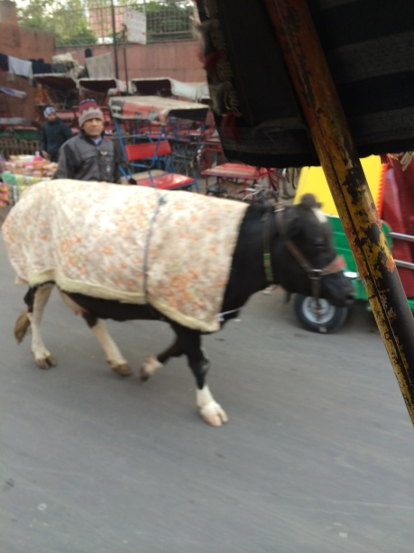 On the streets and highways of India, cows….